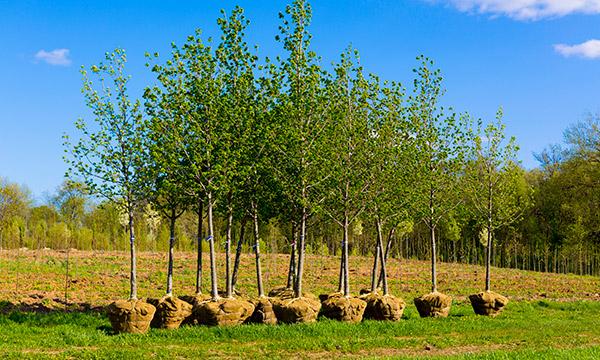arbres-bulbes
